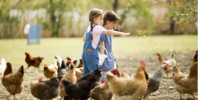 Children Feeding Chickens